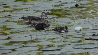 Wood Duck with Ducklings.