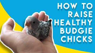 How to Raise a Healthy New Born Budgie Babies for Breeding Pair