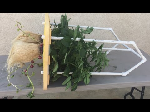 , title : 'Check out the amazing growth pattern of this hydroponic potato!
