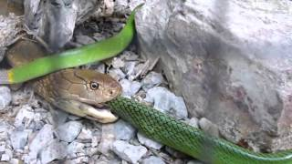 King Cobra Snake Eating Red Tailed Racer Snake (6x Speed)