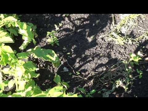 , title : 'Чернозём (black soil)