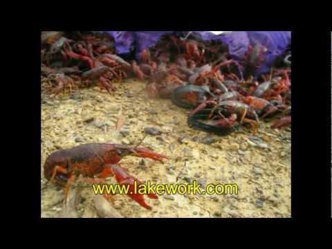 Crayfish Stocking