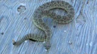 Colorado Prairie Rattlesnake