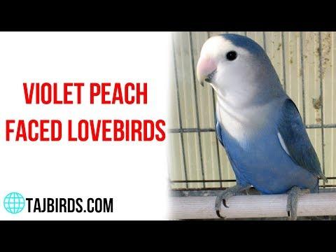 mp4 Violet Rosy Lovebird, download Violet Rosy Lovebird video klip Violet Rosy Lovebird