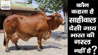 Is Sahiwal a Pakistani Cow Breed? DJJS Kamdhenu
