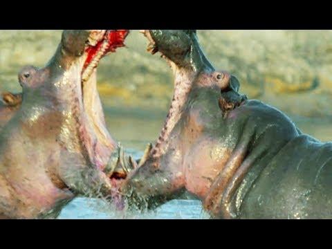 L'extraordinaire amitié entre un bébé hippo orphelin et son copain rhino !