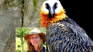 Quick look at Shannon who saves Bearded Vultures in South Africa