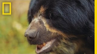 Saving South America's Only Bear Species | National Geographic