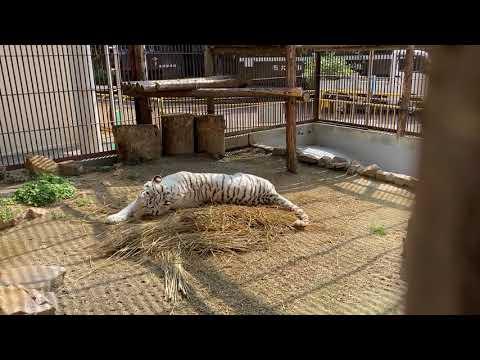 【池田動物園公式】朝の日課、、ワラの上でゴロゴロ?