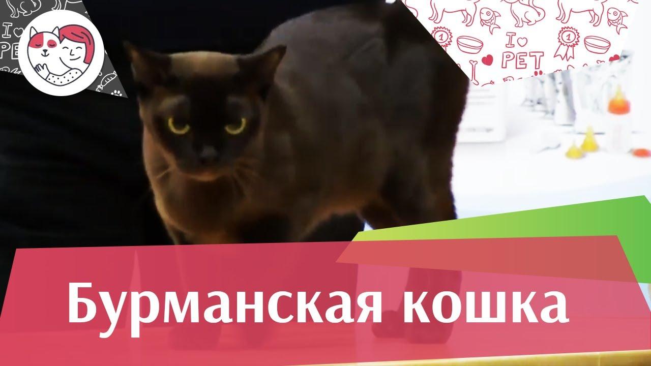 Бурманская кошка на ilike.pet
