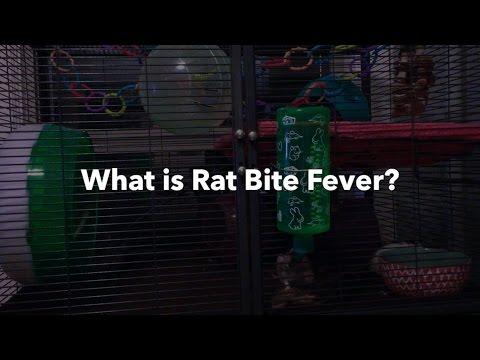 Video Rat Bite Fever | Symptoms, Treatment, & Prevention