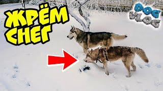 DOGVLOG: ХАСКИ ЖРЁТ СНЕГ (Хаски Бандит) Говорящая собака