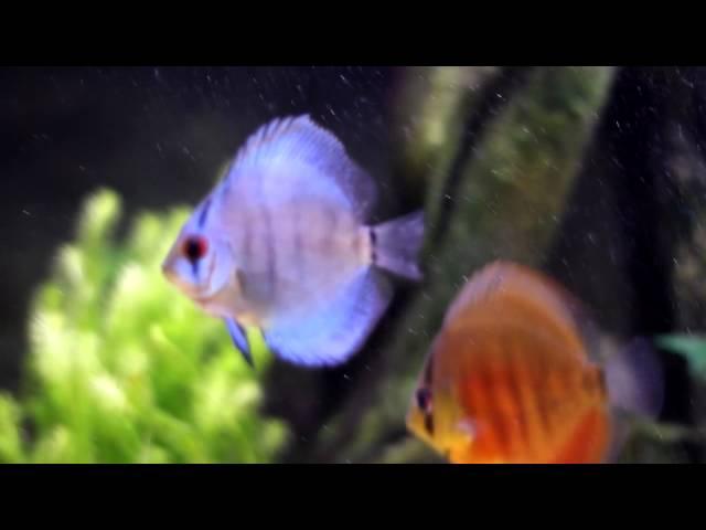 Discus fish -300 litres-2011