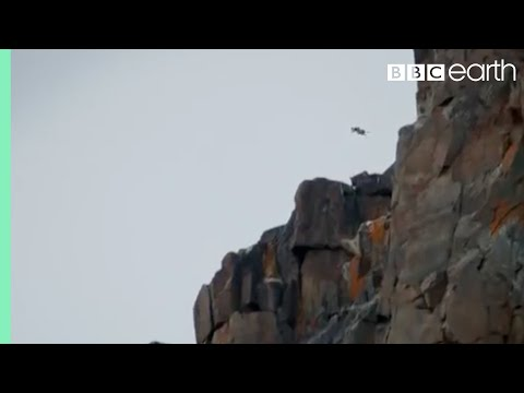 Poikaset hyppäävät kalliolta – Ihmeellinen selviytyminen