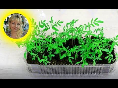 Как посадить БАРХАТЦЫ на рассаду