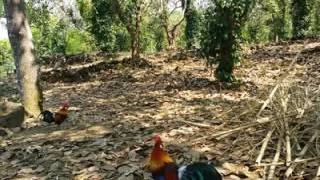 bẫy gà rừng 2017 .bẫy ở rùng quốc gia được e bổi già cực sung
