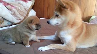 悶絶注意!届かないけど攻撃力、破壊力バツグンの犬ぱんち!かわいすぎる柴犬の赤ちゃんに超絶萌える。A roly‐poly Shiba Inu puppy, punches don't reach.