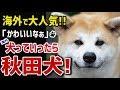 【海外衝撃】秋田犬の愛らしさに海外メロメロwww 海外「犬っていったら秋田犬!」海外で秋田犬が大人気!