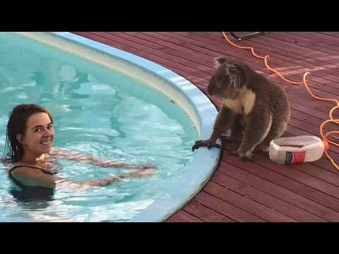 Curious Koala joins girl by the pool for kisses and head scratches