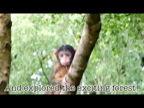 Trentham Monkey Forest baby monkeys - Baby Cam: Week 10