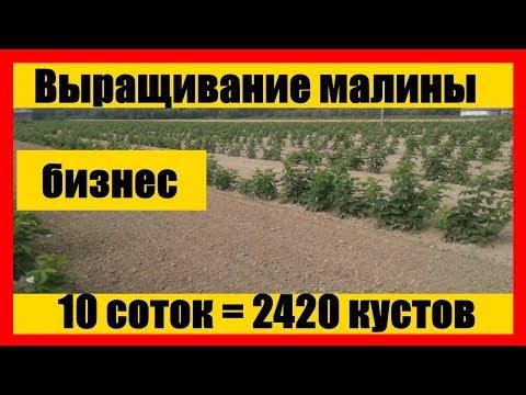 Схема посадки малины    Выращивание малины как бизнес    growing raspberries