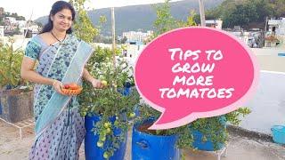 టమాటాలు కాస్తూనే ఉండాలంటే ఇలా పెంచండి./Best Tips For Growing  Lots Of Tomatoes.  #tomatoes #tips