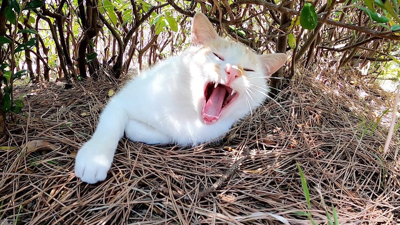 植込みの中でお昼寝する猫達、寝起きの茶シロ猫が甘えてきた