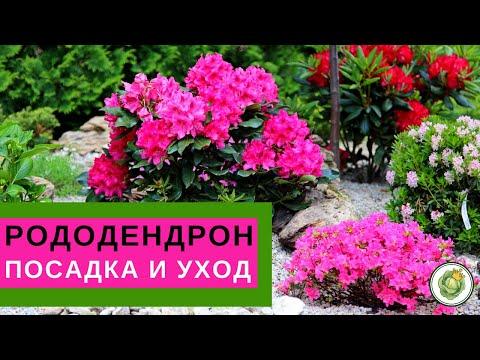 РОДОДЕНДРОН - посадка и уход//Все секреты пышного цветения
