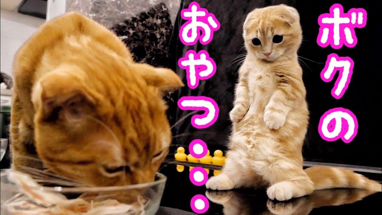 初めてカニカマを食べる子猫と保護猫の反応が...【短足マンチカン】