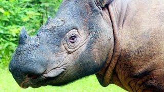 Sumatran rhinoceros - World Rhino Week