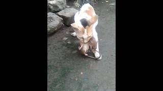 STREET CAT KILL AND EATING  GIANT RAT