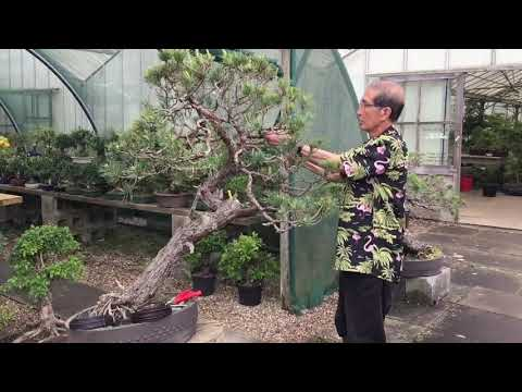 How to Prune & Shape Scots Pine