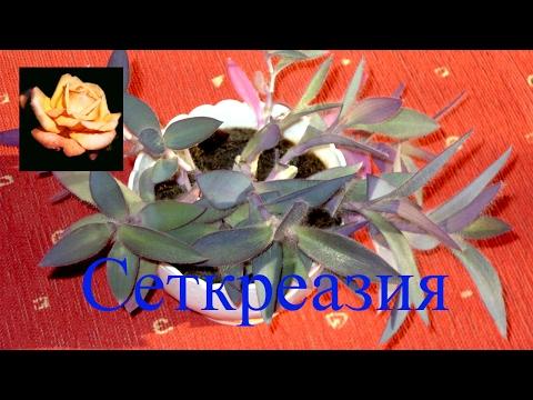 Сеткреазия. Комнатные растения.