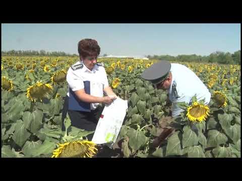 На территории Ростовской области Управлением Россельхознадзора проведены обследования на наличие карантинных объектов