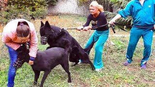 😍Злая невеста Призрака. Черные Немецкие овчарки. Evil Bride. Black German Shepherd Dogs.