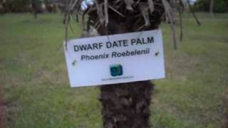 preview picture of video 'Dwarf Date Palm - Phoenix Roebelenii'