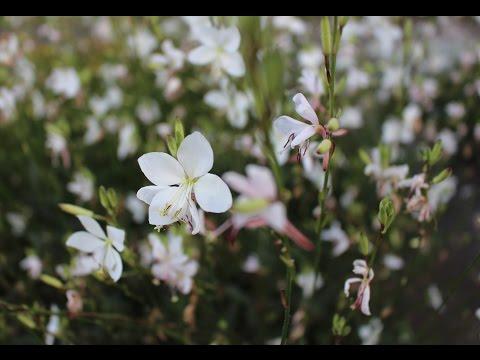 Rispige Graslilie (Anthericum ramosum) Flower ✔