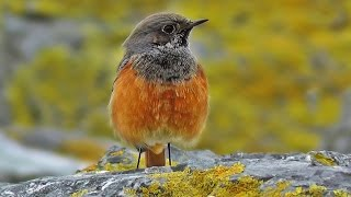 Eastern Black Redstart at Mousehole : Rare Bird in Cornwall UK