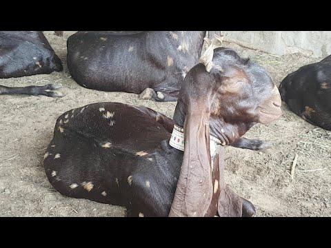 Live Pure Kamori Goats Documentary