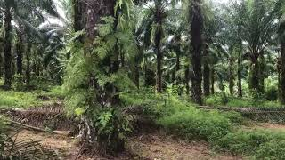 Ten Rai + Land Plot with Palm Plantation and Near Phang Nga Town