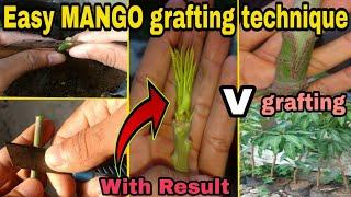 MANGO GRAFTING TECHNIQUE | Mango V Grafting | How To Graft A Mango Tree