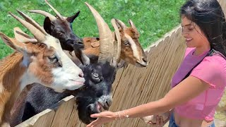 Funny Petting Zoo - Baby Goat, Cow, Horse, Kangaroo, Donkey - Cute Animals Video