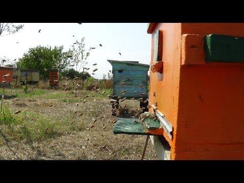 Профилактика ЕдК от варроа и наземы на пасике