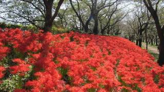 Redspiderlily幸手市権現堂堤のヒガンバナ曼珠沙華花の名所幸手市観光