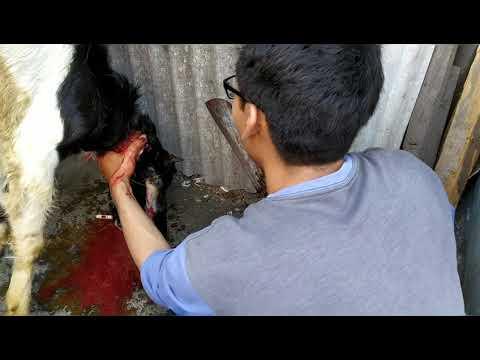 Mas Gofan potong kepala kambing saat qurban guys..