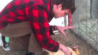 Мэттью Грей Габлер, MGG hypnotizes a chicken