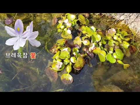 전원생활 브레옥잠 과 어리언연꽃 월동보관법 gardening