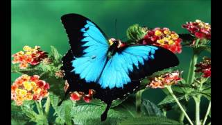 Butterfly  ANDY WILLIAMS
