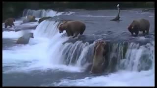 Bears fishing Медведи ловят рыбу