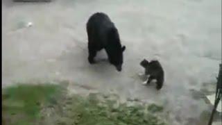 Cat vs Bear TOP 5